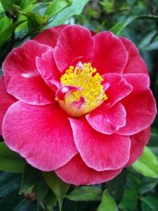 camellia (26 Sep 10)