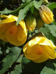 yellow abutilon (05 Apr 2012)