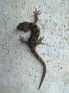 gecko (02 May 2012)