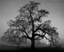 tree (Ansell Adams)