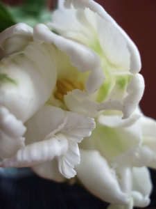 white parrot tulip #1 (09 May 2013)