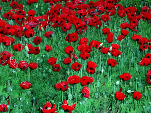 Queen Victoria's poppies (06 November 2013)