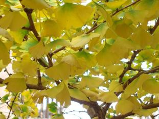 gingko gold #321 (09 June 2015)015)