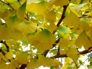 gingko gold #322 (09 June 2015)