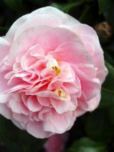 camellia #402 (11 August 2015)