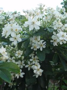 Choisya ternata – Mexican orange or mock orange (28 October 2014)